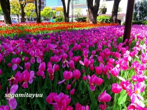 Yokohama-tulip-7071