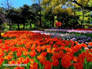 Yokohama-tulip-7076