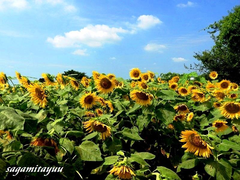 Zama_himawari_1787